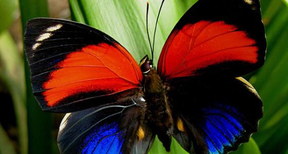 hermosa-mariposa-en-chanchamayo